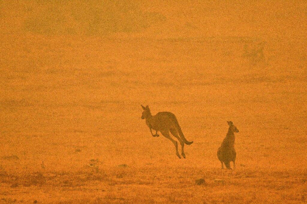 Estimation de 3 milliards d'animaux touchés par les feux de brousse en Australie: étude