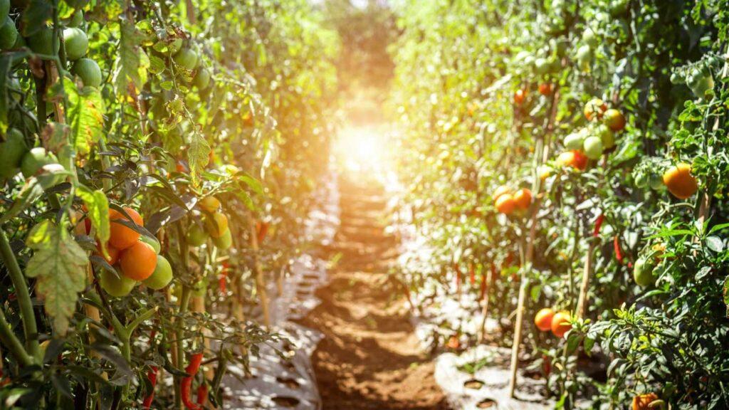 La détection de la signalisation électrique entre les plants de tomates soulève des questions intéressantes