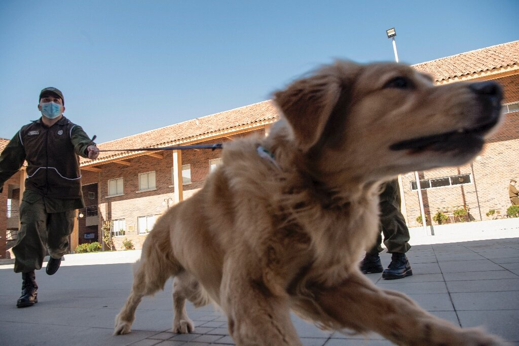 La police chilienne entraîne des chiens pour flairer COVID-19