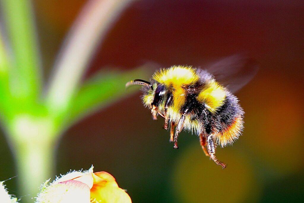 Le bourdonnement des abeilles est plus puissant pour la pollinisation que pour la défense ou le vol