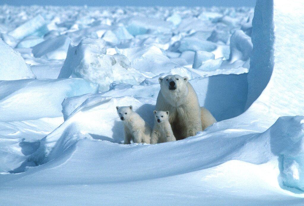 Le changement climatique est en passe d'éliminer les ours polaires d'ici 2100