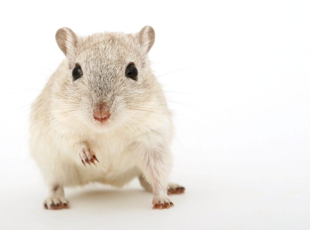 Les antibiotiques perturbent le développement du `` cerveau social '' chez la souris
