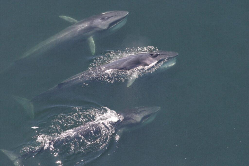 Les baleines à fanons ont changé leur distribution dans l'ouest de l'Atlantique Nord