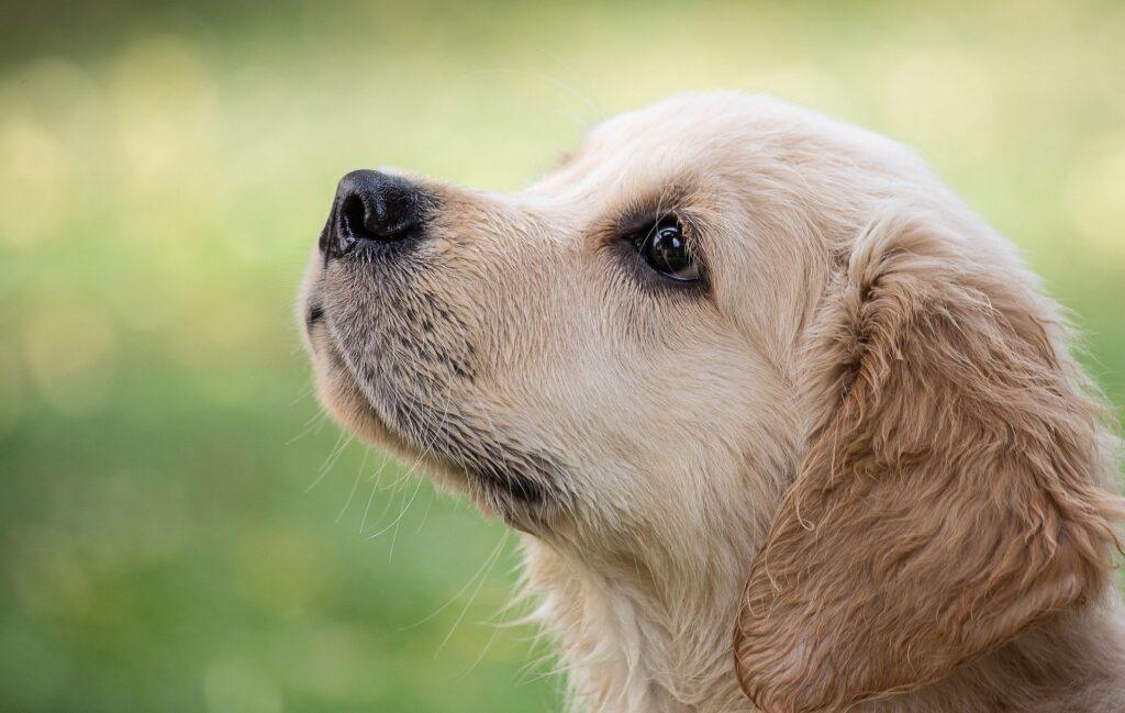 Les chiens COVID-19 pourraient renifler des cas dans des mois