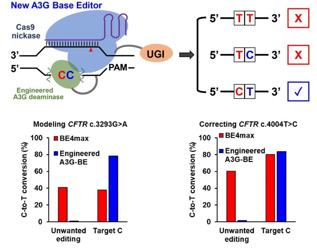 Les cytosines `` spectateurs '' rencontrent leur correspondance dans la technique d'édition de gènes
