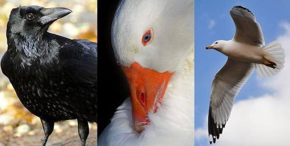 Les déjections d'oiseaux comportent un risque de résistance aux antibiotiques