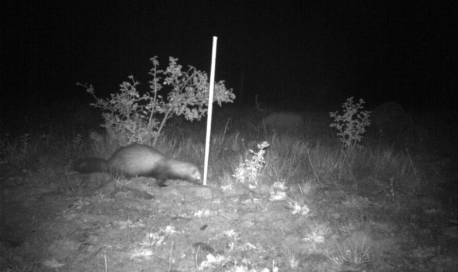 Les hérissons et les furets envahissants s'habituent et classent les odeurs