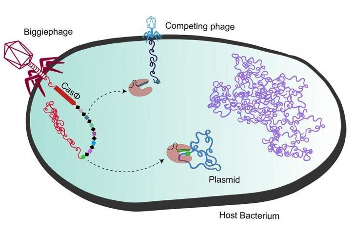 Les mégaphages abritent des protéines mini-Cas idéales pour l'édition de gènes