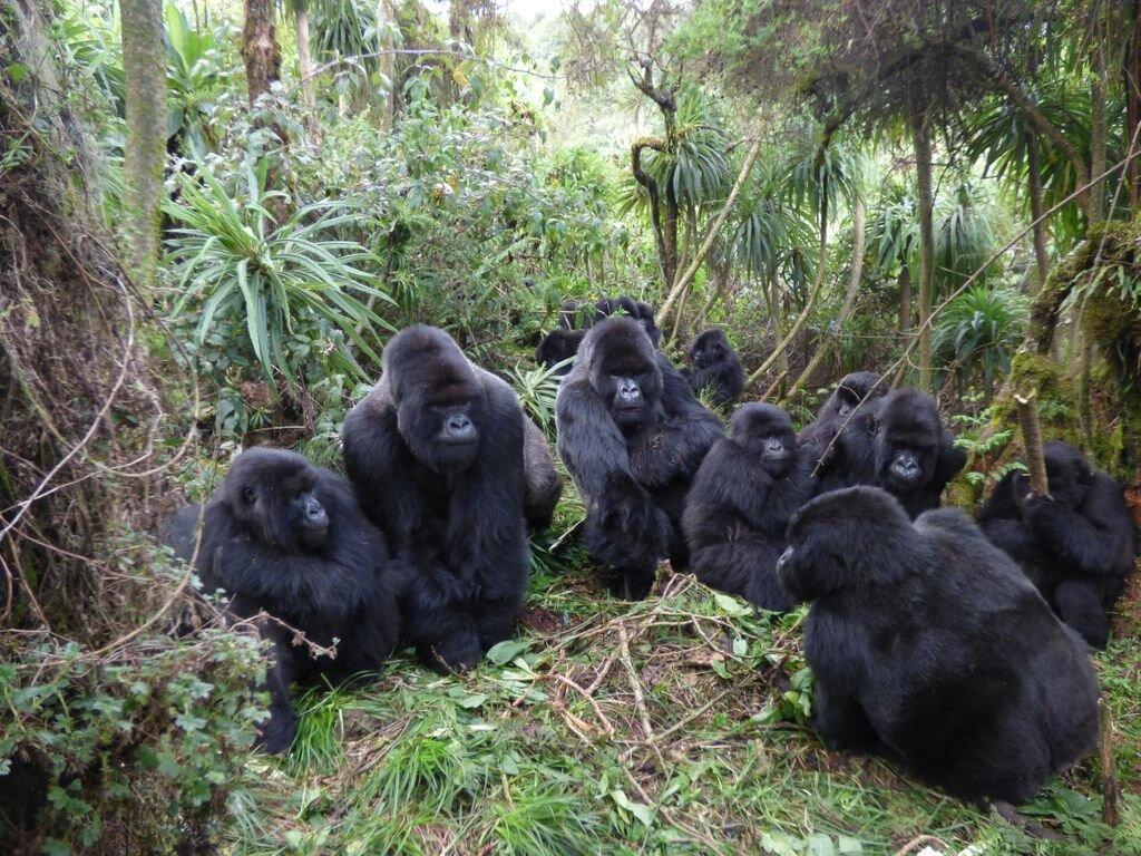 Les relations avec les gorilles sont limitées dans les grands groupes