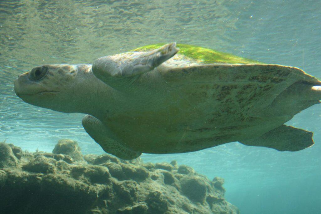 Les scientifiques craignent pour la tortue de mer la plus menacée au monde alors que le service des parcs réduit ses effectifs