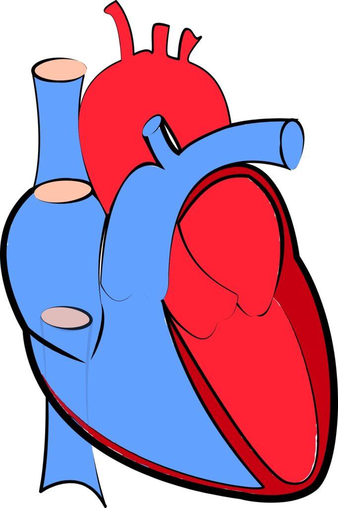 Les scientifiques identifient un facteur clé régulant la croissance cardiaque anormale