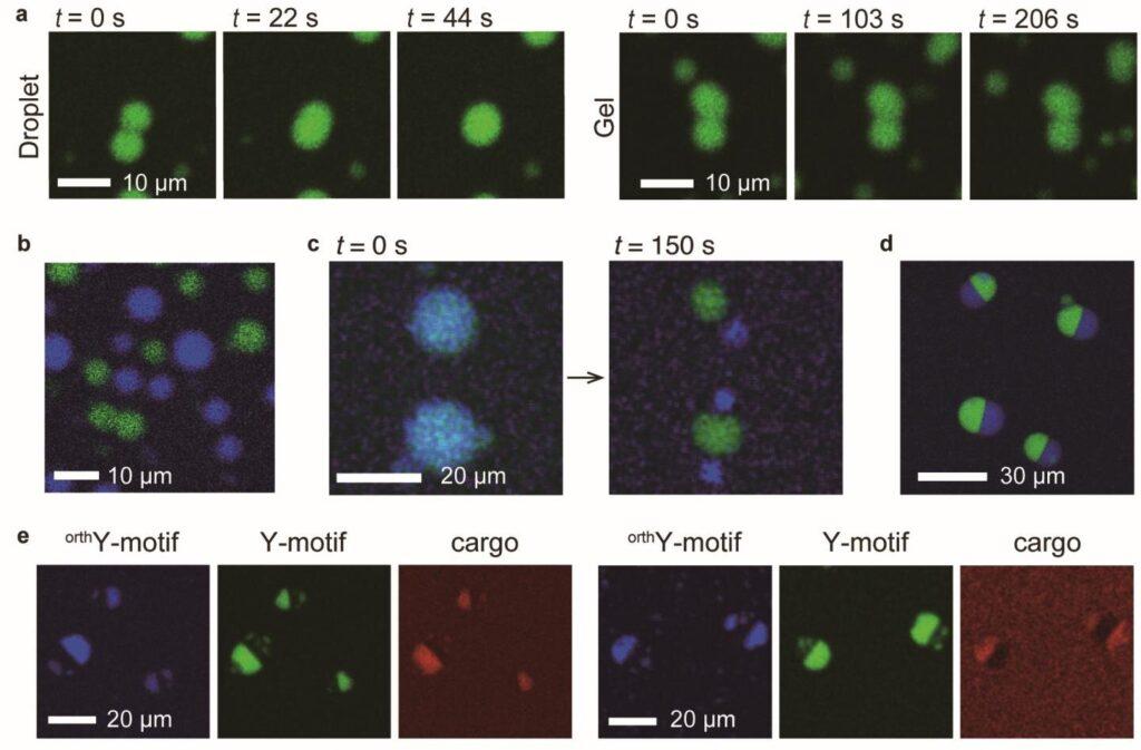 Les scientifiques ont construit des «gouttelettes d'ADN» comprenant des nanostructures d'ADN conçues