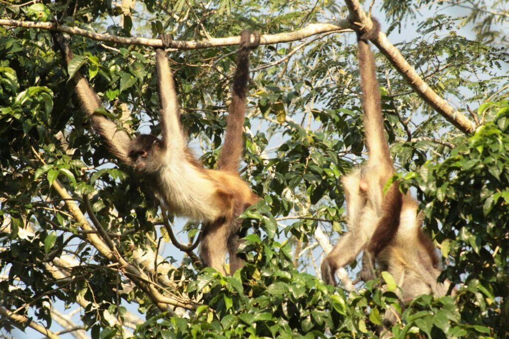 Les singes araignées utilisent des groupes pour développer leurs connaissances sur leur environnement