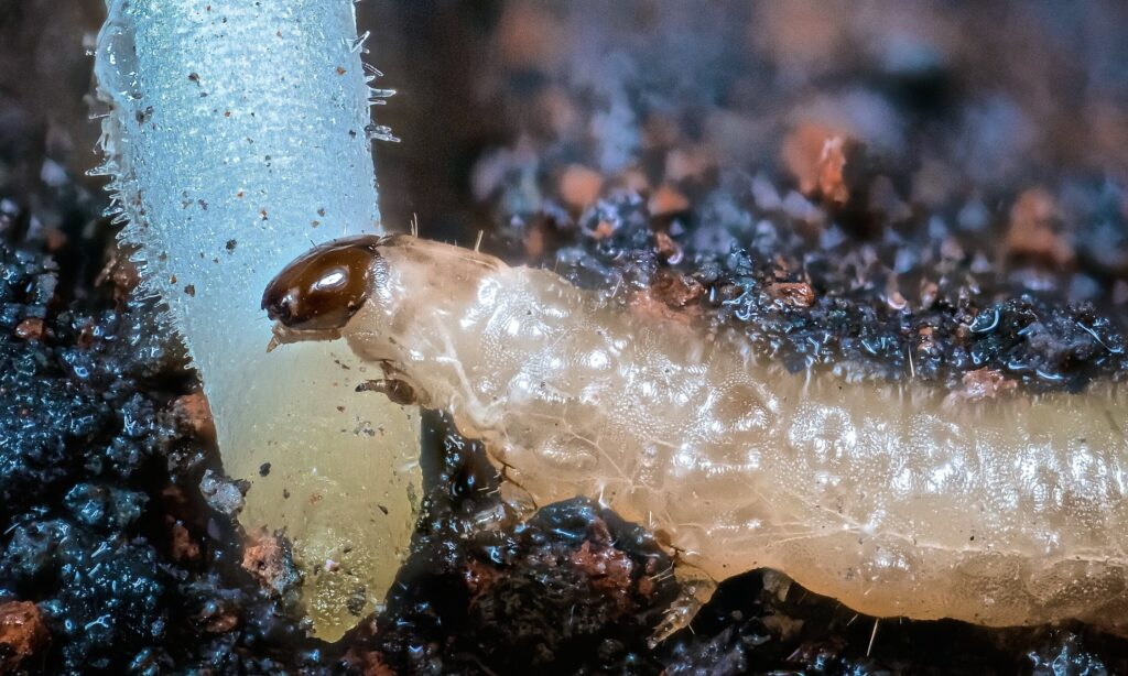 Retour aux racines de l'agriculture dans la bataille contre le `` scarabée d'un milliard de dollars ''