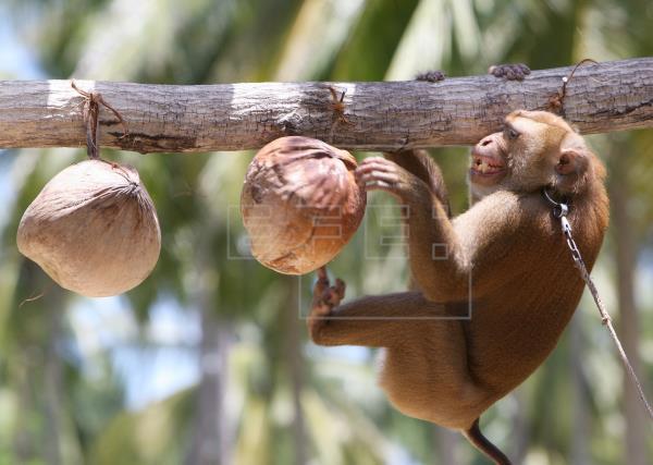Monos recolectores de cocos: ¿Tradición o explotación en Tailandia?