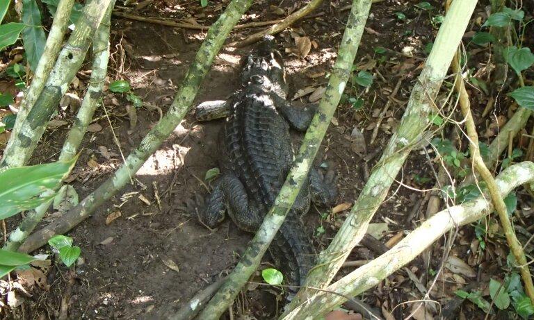 Un crocodile siamois libéré trouvé nichant dans la nature