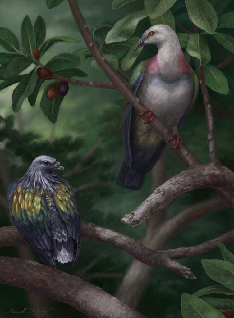 Un pigeon géant mangeant des fruits en extinction dans les îles du Pacifique