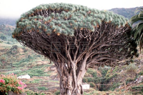Un estudio explica los factores de la larga vida de los árboles milenarios